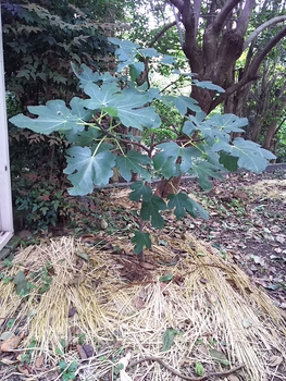イチジク 栽培