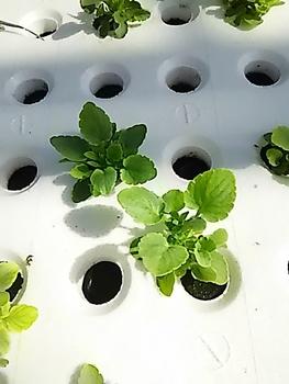 水耕で育つ 虹色スミレ 種付けして1週間ぐらいのスミレの苗