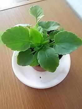 水耕で育つ 虹色スミレ スポンジごと土に植えます。