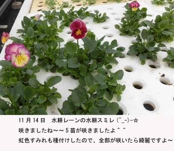 水耕で育つ 虹色スミレ 咲いたらもらわれていきます。。。
