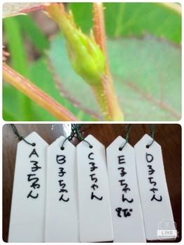 どんなお花が咲くかお楽しみに(*^^*) 7月12日蕾が続々着いちゃうー(^^;