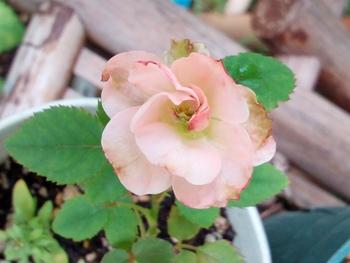 どんなお花が咲くかお楽しみに(*^^*) 7月30日、、、咲いたものも、、、