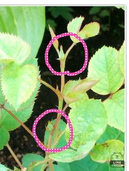 どんなお花が咲くかお楽しみに(*^^*) 11月2日一つのバラに2つの蕾が