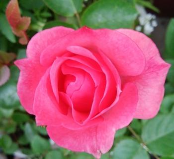 どんなお花が咲くかお楽しみに(*^^*) 6月4日のバラは、、、