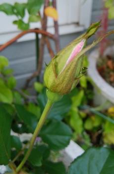どんなお花が咲くかお楽しみに(*^^*) 10月7日花色が見えて来ました💗