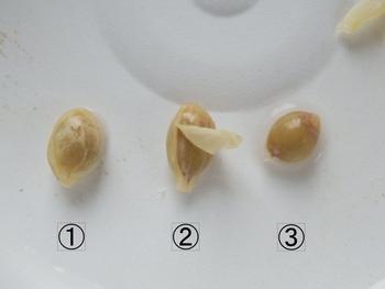 柑橘類の種まき 種の透明な皮を取る