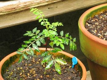 山椒 の 木 の 育て 方 サンショウ(山椒)の育て方|ヤサシイエンゲイ