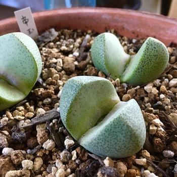 種から育てるプレイオスピロス 帝玉 新しい葉が(*´∇`*)