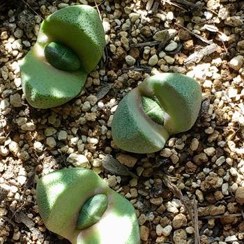 種から育てるプレイオスピロス 帝玉 葉が育ってきました