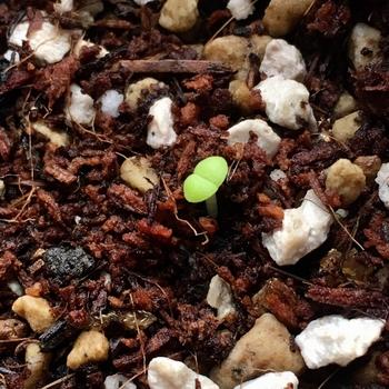 種から育てるプレイオスピロス 帝玉 芽が出た🌱