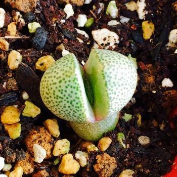 種から育てるプレイオスピロス 帝玉 さらに新しい葉!