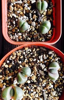 種から育てるプレイオスピロス 帝玉 並ぶと たまりません💕
