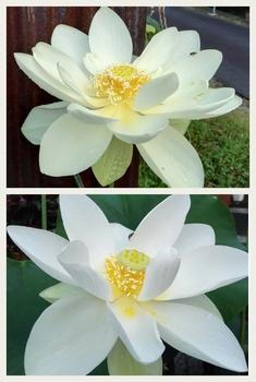 小さな極楽  蓮の咲く庭 バージニア黄蓮、真如蓮 初開花