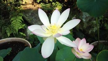 小さな極楽  蓮の咲く庭 碧翠蓮も開花しました