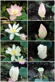 小さな極楽  蓮の咲く庭 花の様子