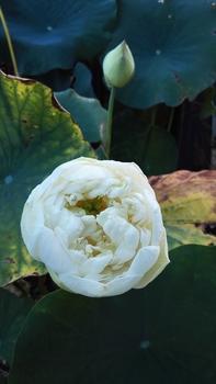 小さな極楽  蓮の咲く庭 シーズン終了🙋
