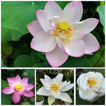 小さな極楽  蓮の咲く庭 実生① 喜上眉梢