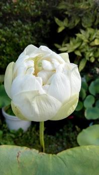 小さな極楽  蓮の咲く庭 開花🙌