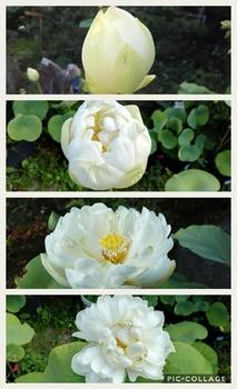 小さな極楽  蓮の咲く庭 花の命は短くて...