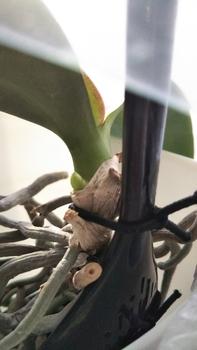 胡蝶蘭を植え込み材なしで育ててみる 2017.12.25