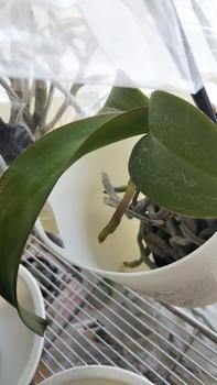 胡蝶蘭を植え込み材なしで育ててみる 2018.1.11
