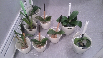 胡蝶蘭を植え込み材なしで育ててみる 3017.3.16