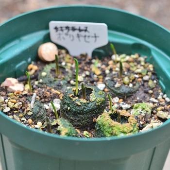 ポリキセナの種まき 今年は咲くかな?
