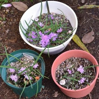 ポリキセナの種まき 咲きました