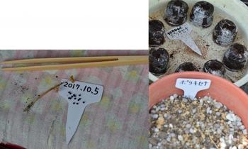 ポリキセナの種まき 2017.10.5 種まき