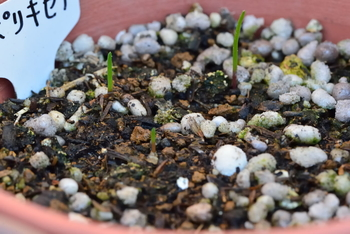 ポリキセナの種まき 芽が三つ