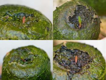 ポリキセナの種まき びっくり