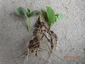 栽培 枝豆 生長が促進!「枝豆の根切り植え」苗が若返って旺盛に育つ方法です