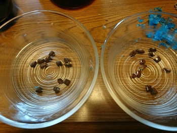 タビビトノキを種から 水に浸ける
