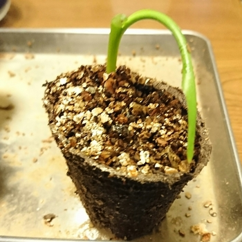 タビビトノキを種から 発芽