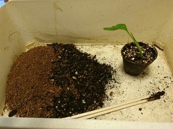 タビビトノキを種から 鉢上げ