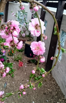 実も食べれるしだれ花桃 開花はじまりました