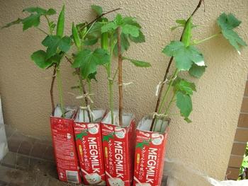 収穫 時期 オクラ オクラの育て方【おすすめ品種・種まき・植え付け・水やり・追肥・収穫・間引き】
