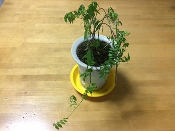 □小藤のミニ盆栽奮闘記□