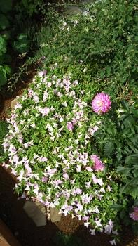 ペチュニア開花中 10月8日のさくらさくら