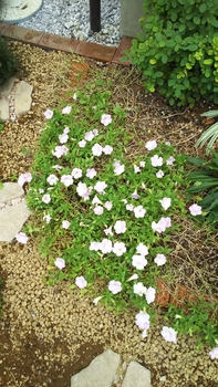 ペチュニア開花中 11月4日のペチュニア