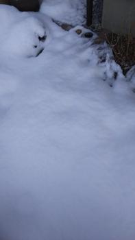 ペチュニア開花中 雪に覆われたさくらさくら