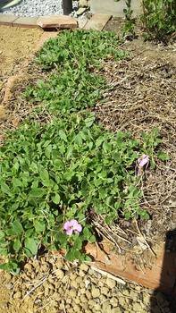 ペチュニア開花中 冬越ししさくらさくら2ndシーズンへ