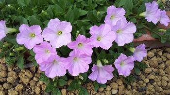ペチュニア開花中