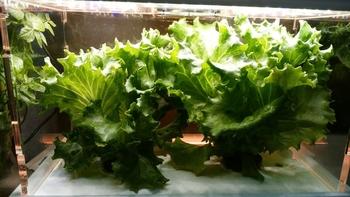 水耕栽培:リーフレタス 収穫