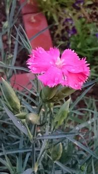 植える場所で花びらの数が変わる? 山土に植え付けたカーネーション