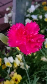 植える場所で花びらの数が変わる? 腐葉土に植え付けたカーネーション