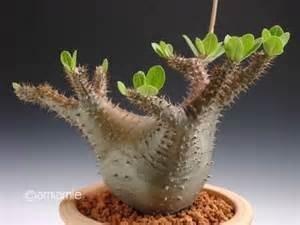 パキポディウム種まき 理想像は写真