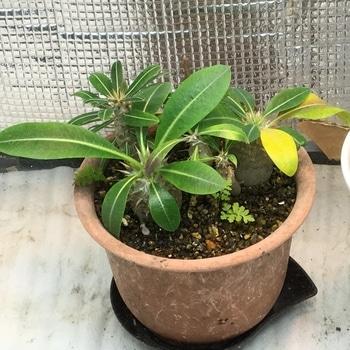 パキポディウム種まき 🍂ホロンベンセは1枚葉が黄変。