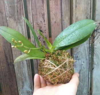 ミディ胡蝶蘭 着生栽培 新芽と花芽スクスク