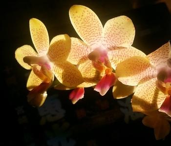 ミディ胡蝶蘭 着生栽培
